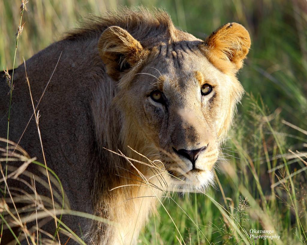 Madikwe Lions Young Pretenders 4 by Okavanga