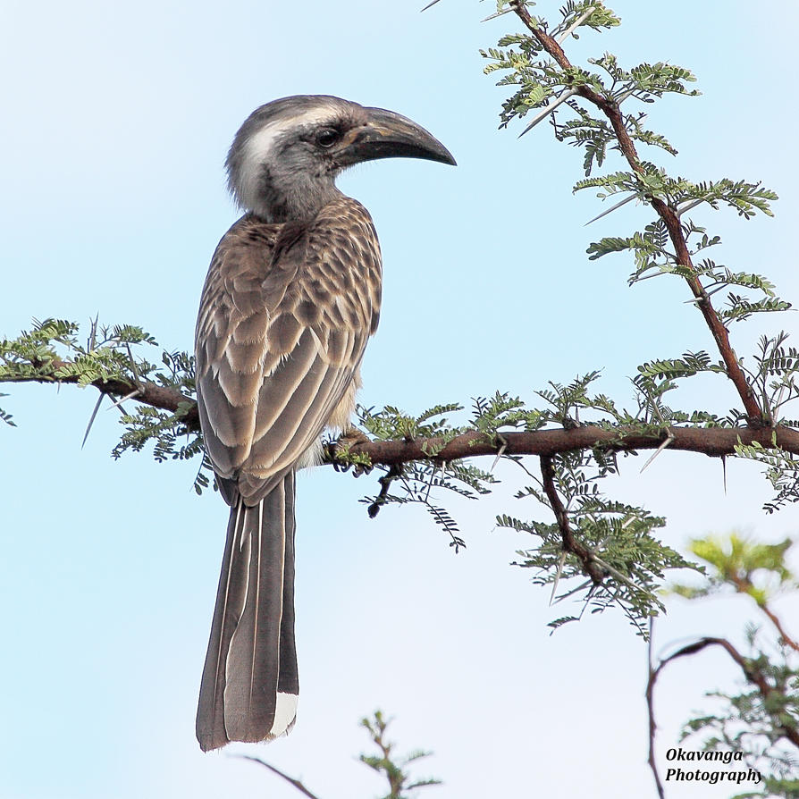 Grey Hornbill by Okavanga