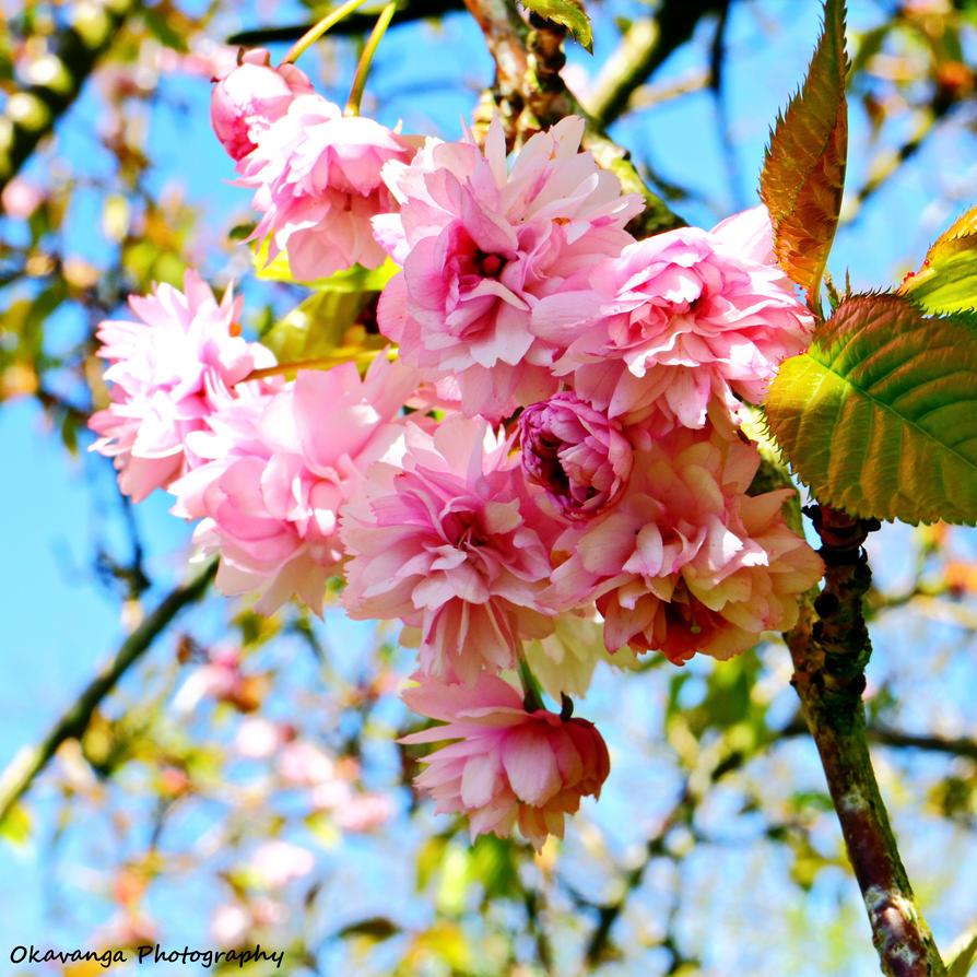 Lincluden - Cherry Blossom by Okavanga
