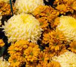 CFS Chrysanthemum 5 by Okavanga