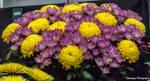 CFS Chrysanthemum 4 by Okavanga
