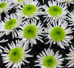 CFS Chrysanthemum 2 by Okavanga