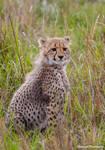 Cheetah Cub 1 by Okavanga
