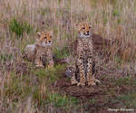 Cheetah Cubs Attention