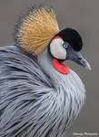 Crowned Crane - Boston 3