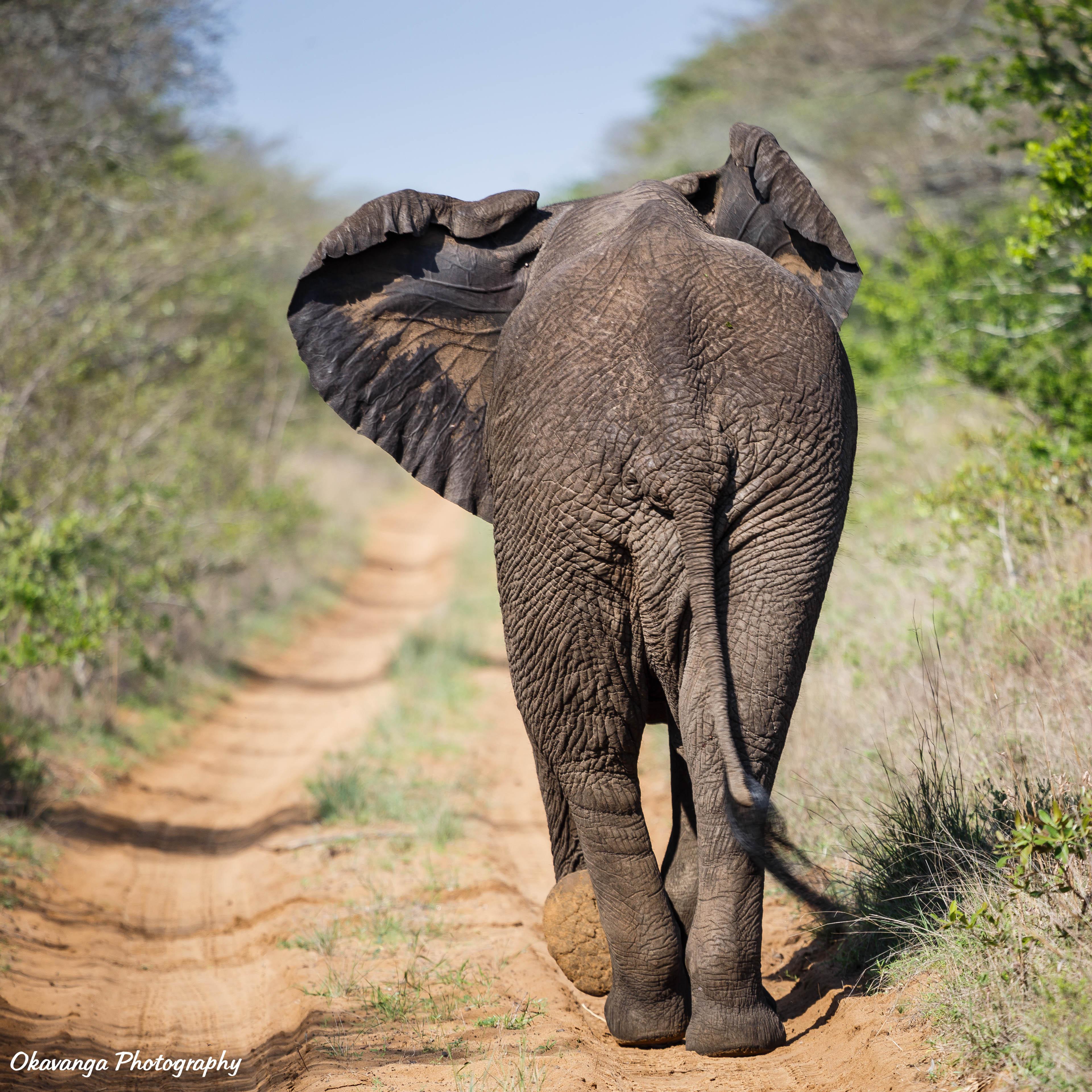 Elephant, Phinda Vlei by Okavanga