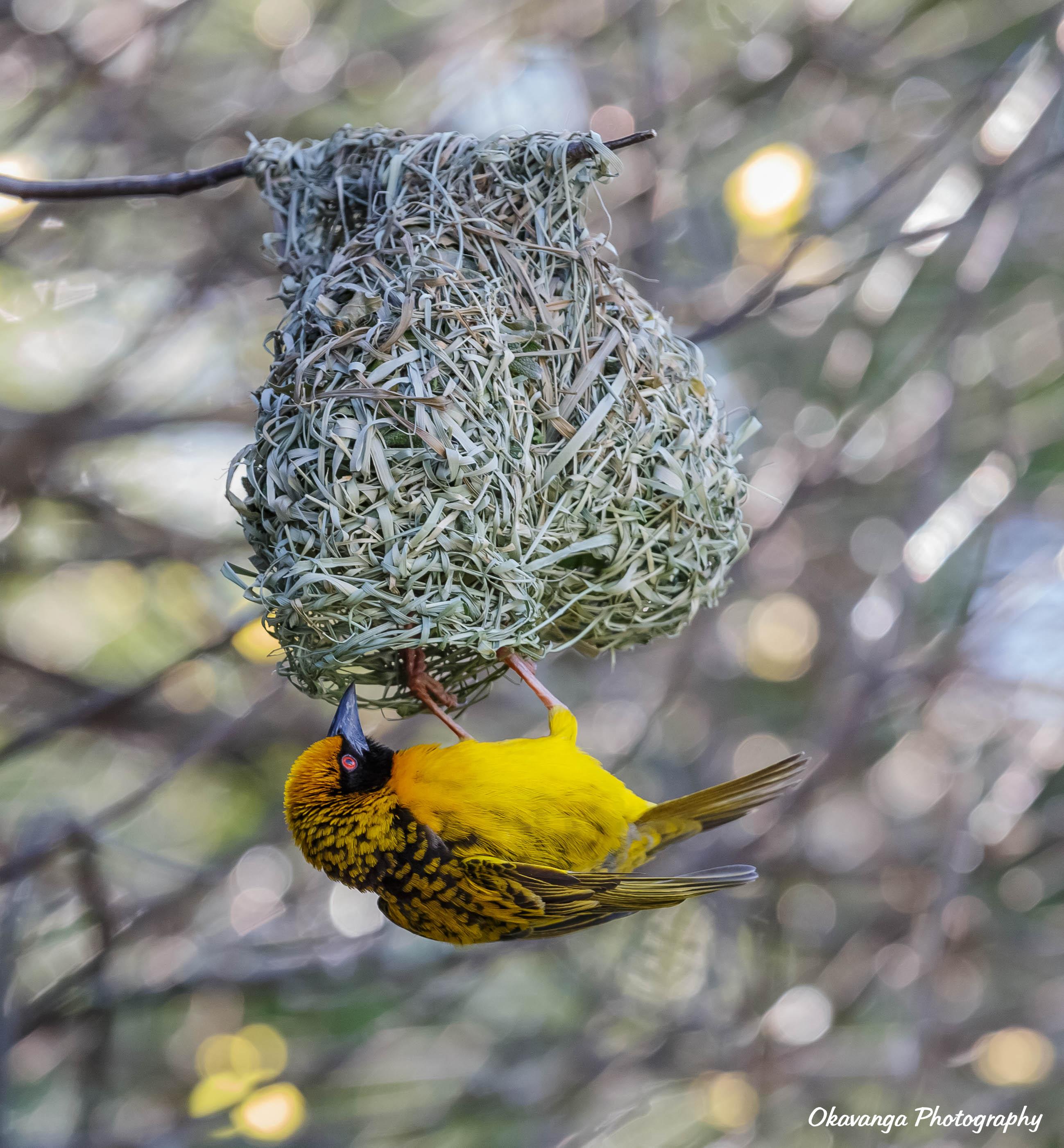 Masked Weaver and Nest by Okavanga