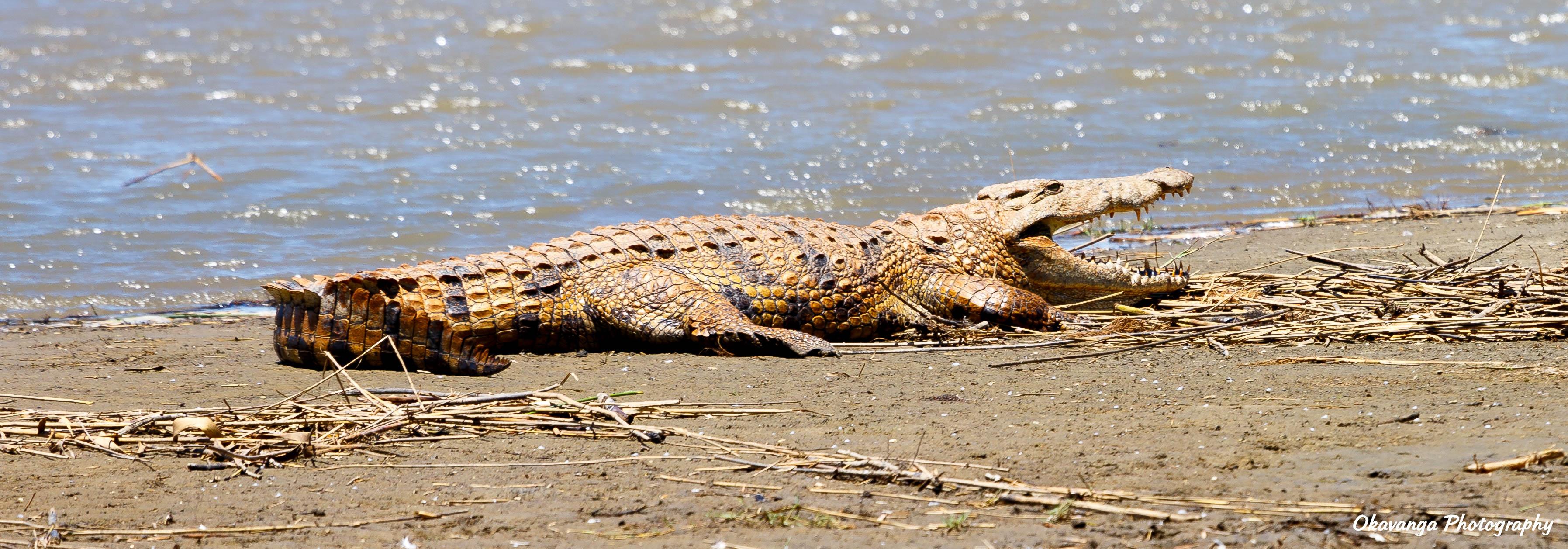 Resting Crocodile by Okavanga