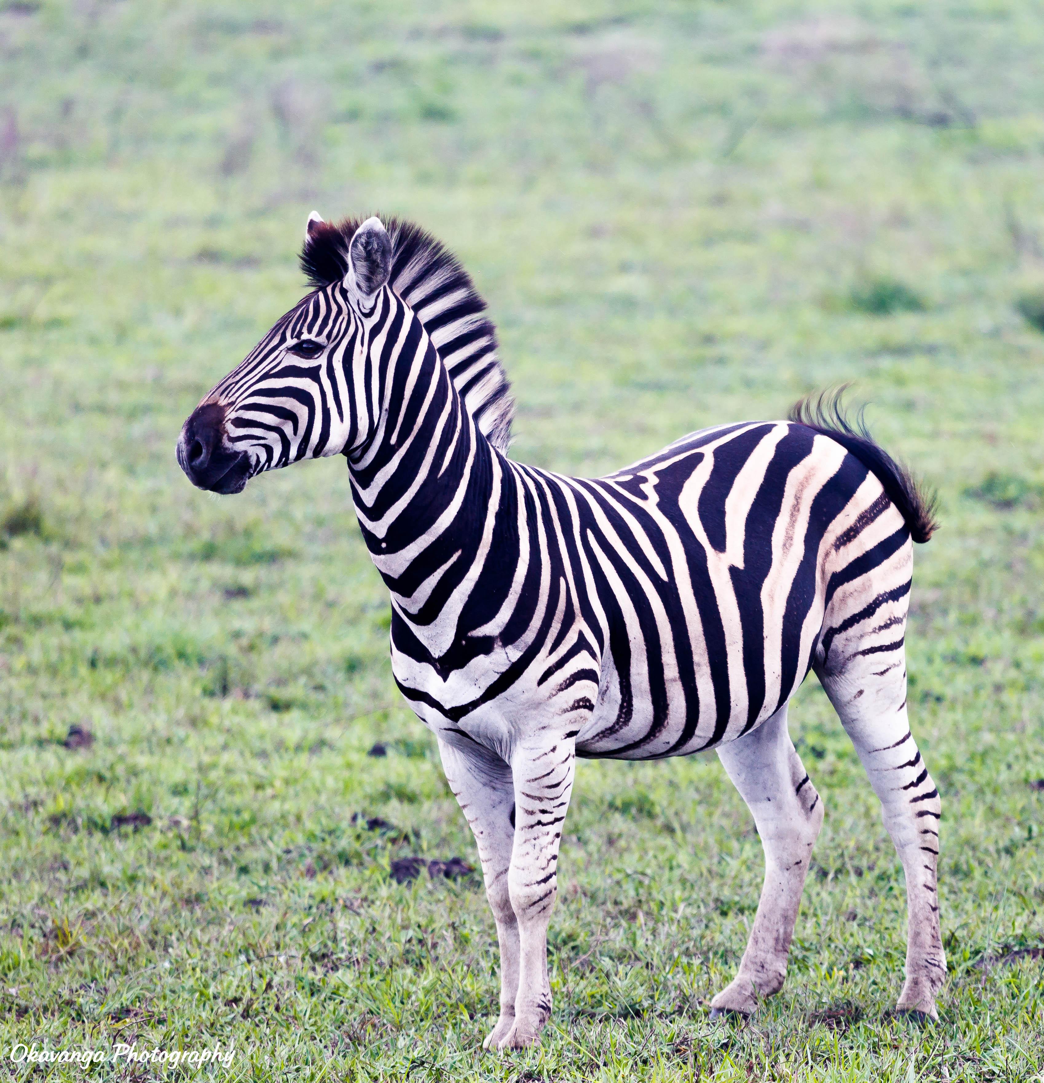 Young Zebra by Okavanga