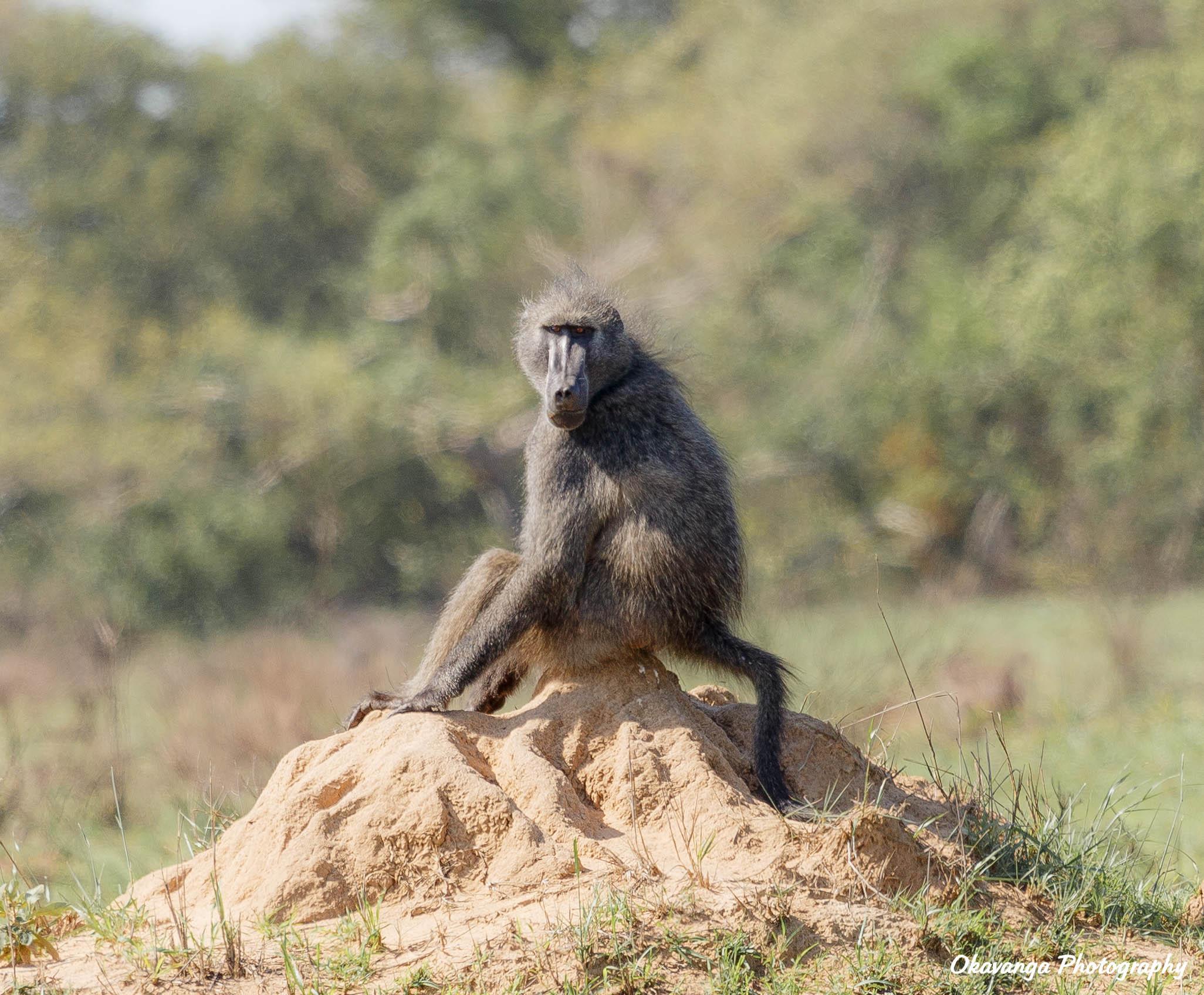 Male Baboon by Okavanga