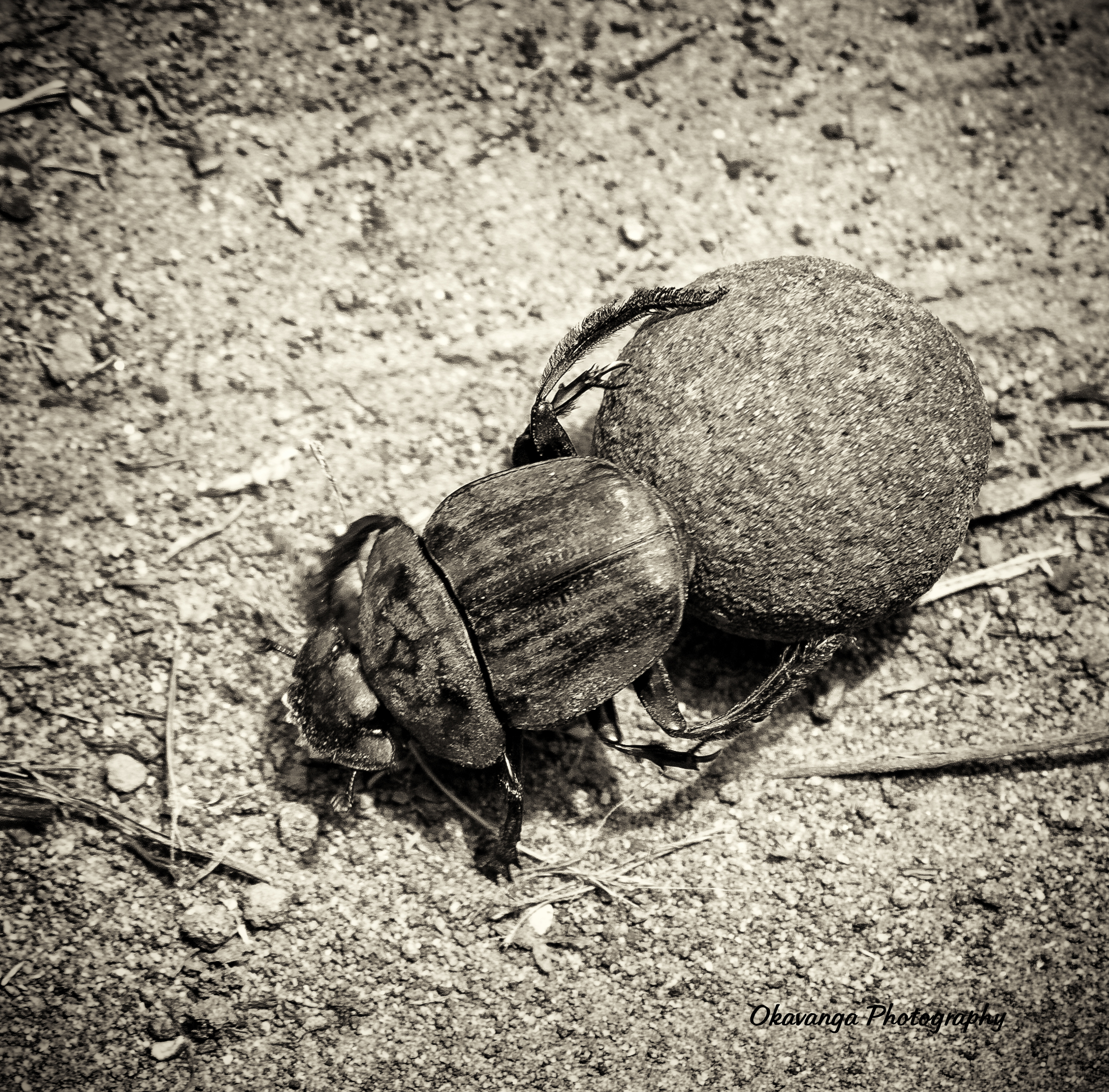 Monochrome - Dung Beetle by Okavanga