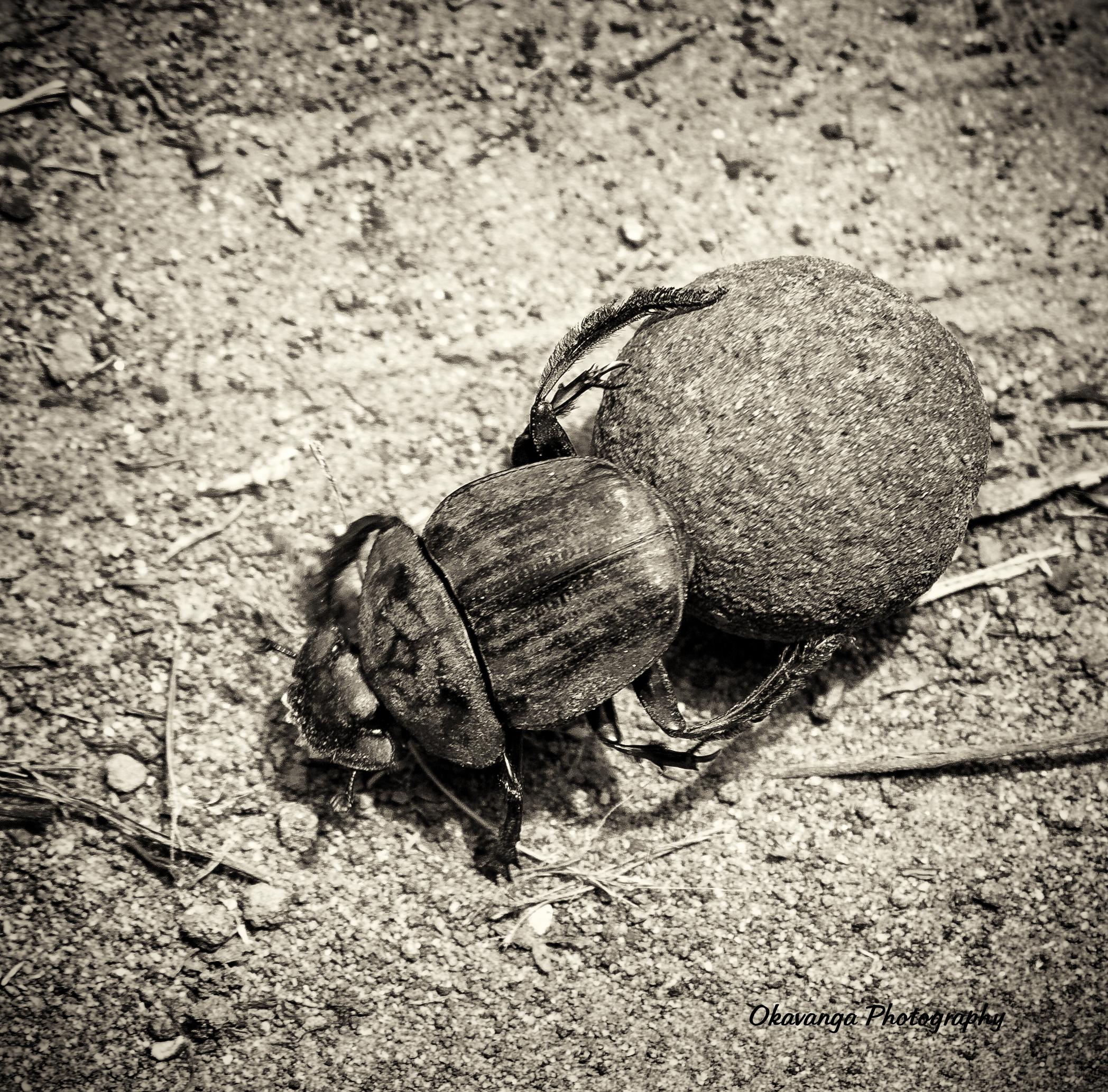 Monochrome - Dung Beetle by Okavanga