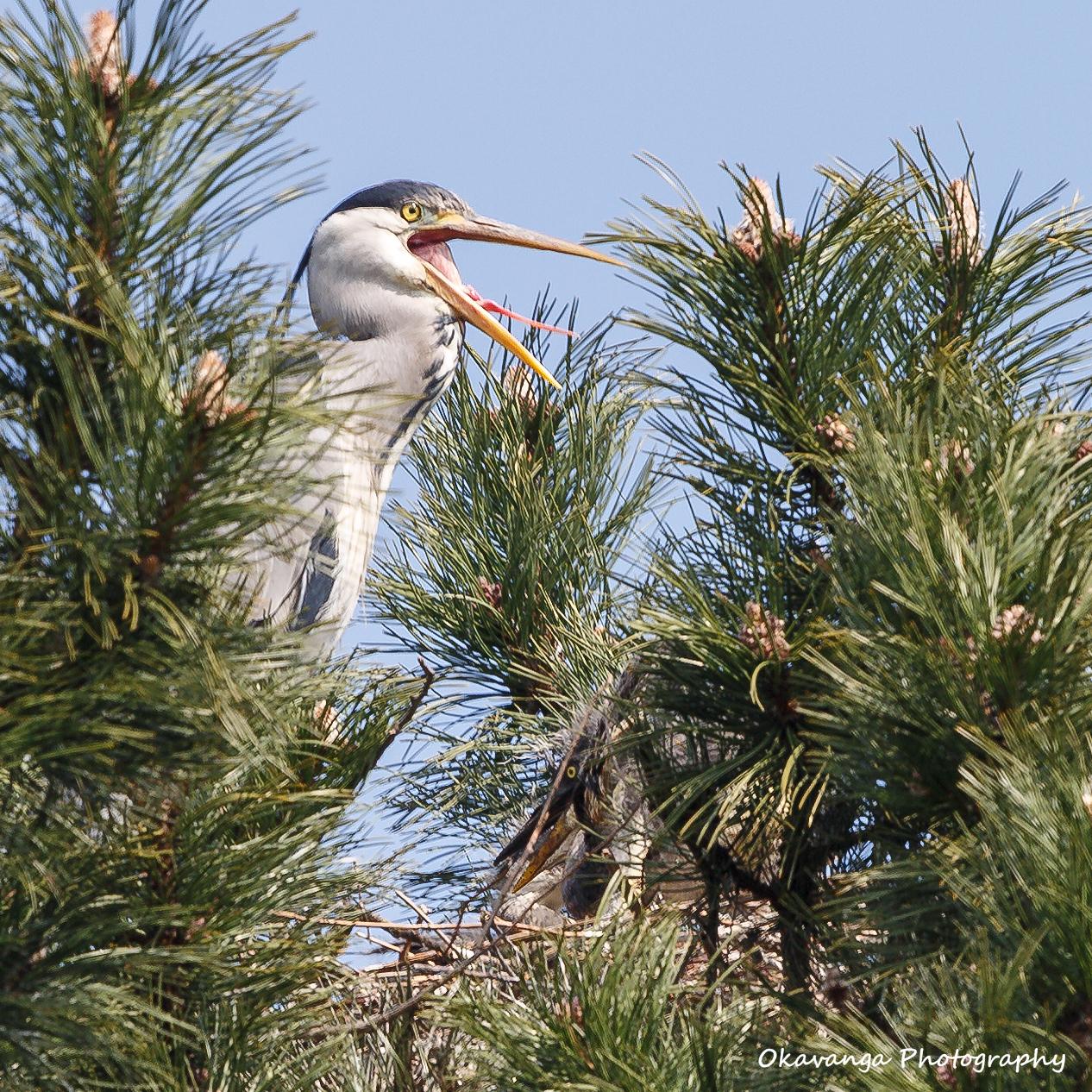 Heron 8 - Calling to Her Mate by Okavanga