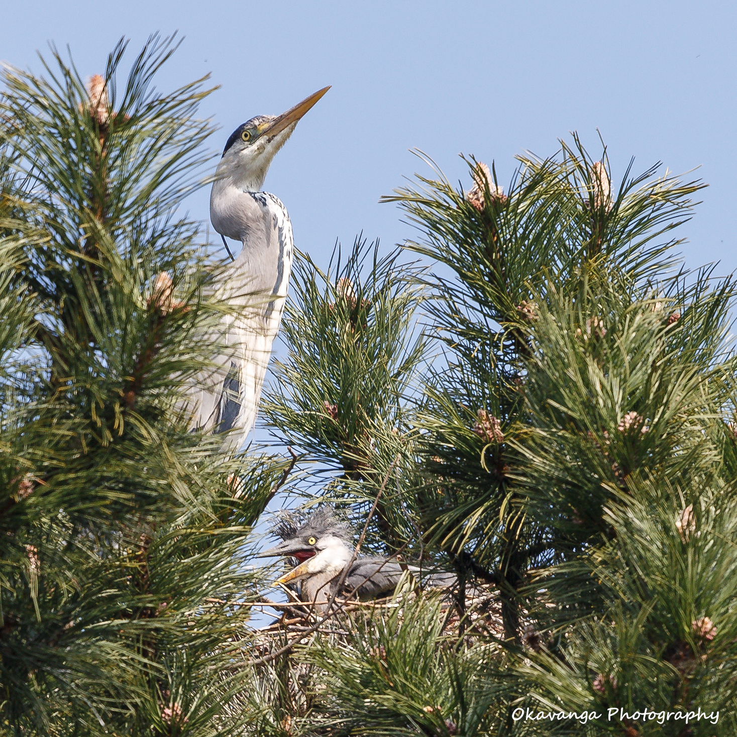 Heron 6 - Nothing Like a Good Squawk! by Okavanga