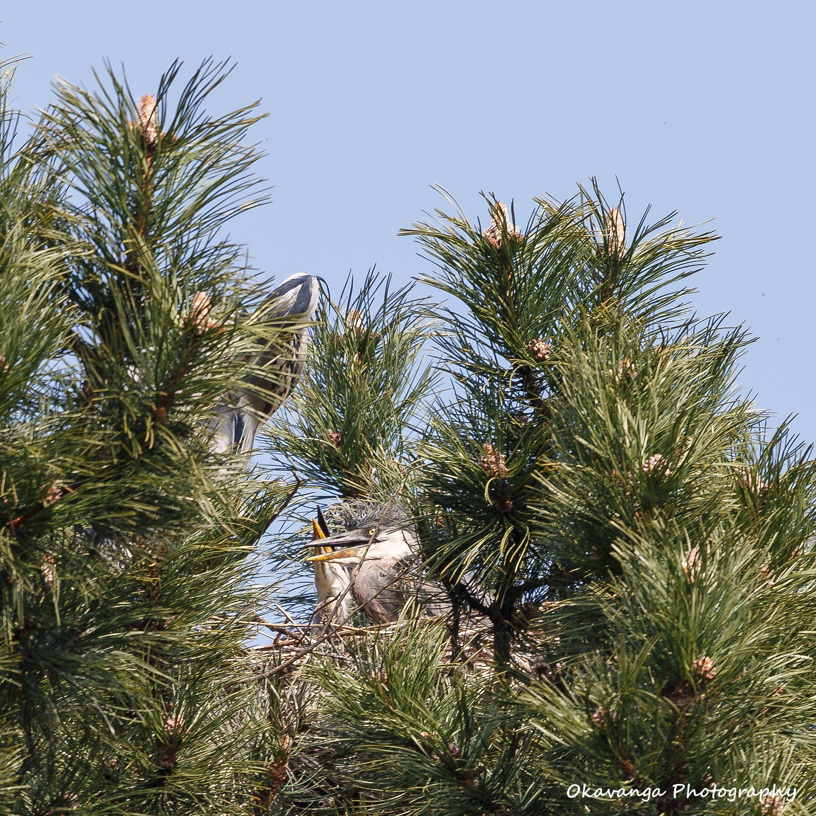 Heron 5 - Crossed Beaks by Okavanga