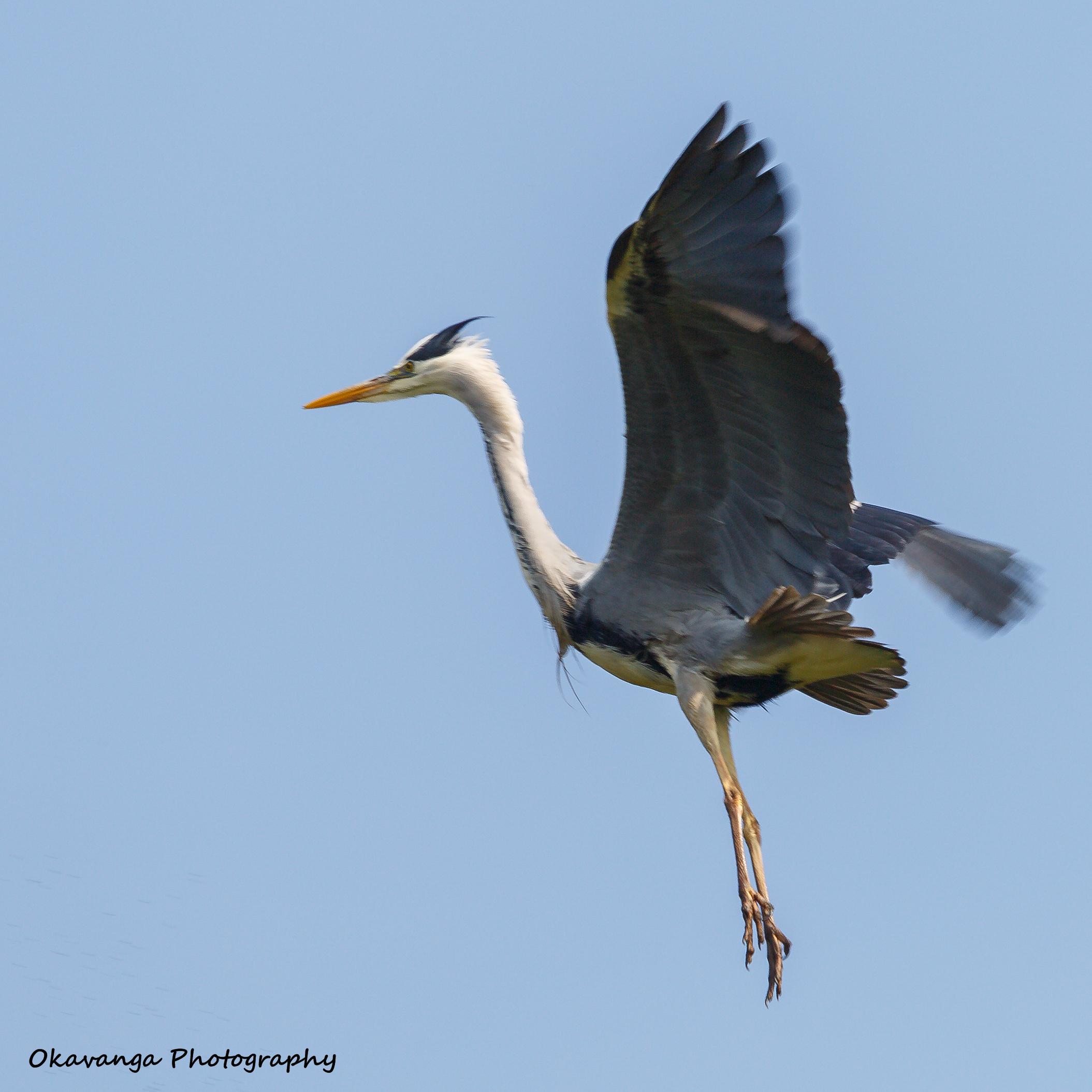 Heron 3 - Elegant Landing by Okavanga