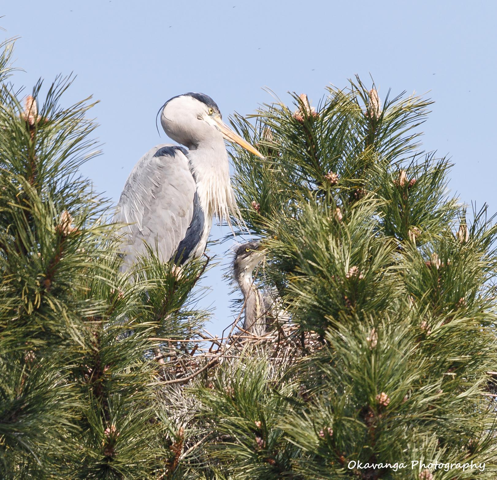 Heron 7 - Where's Dad? by Okavanga