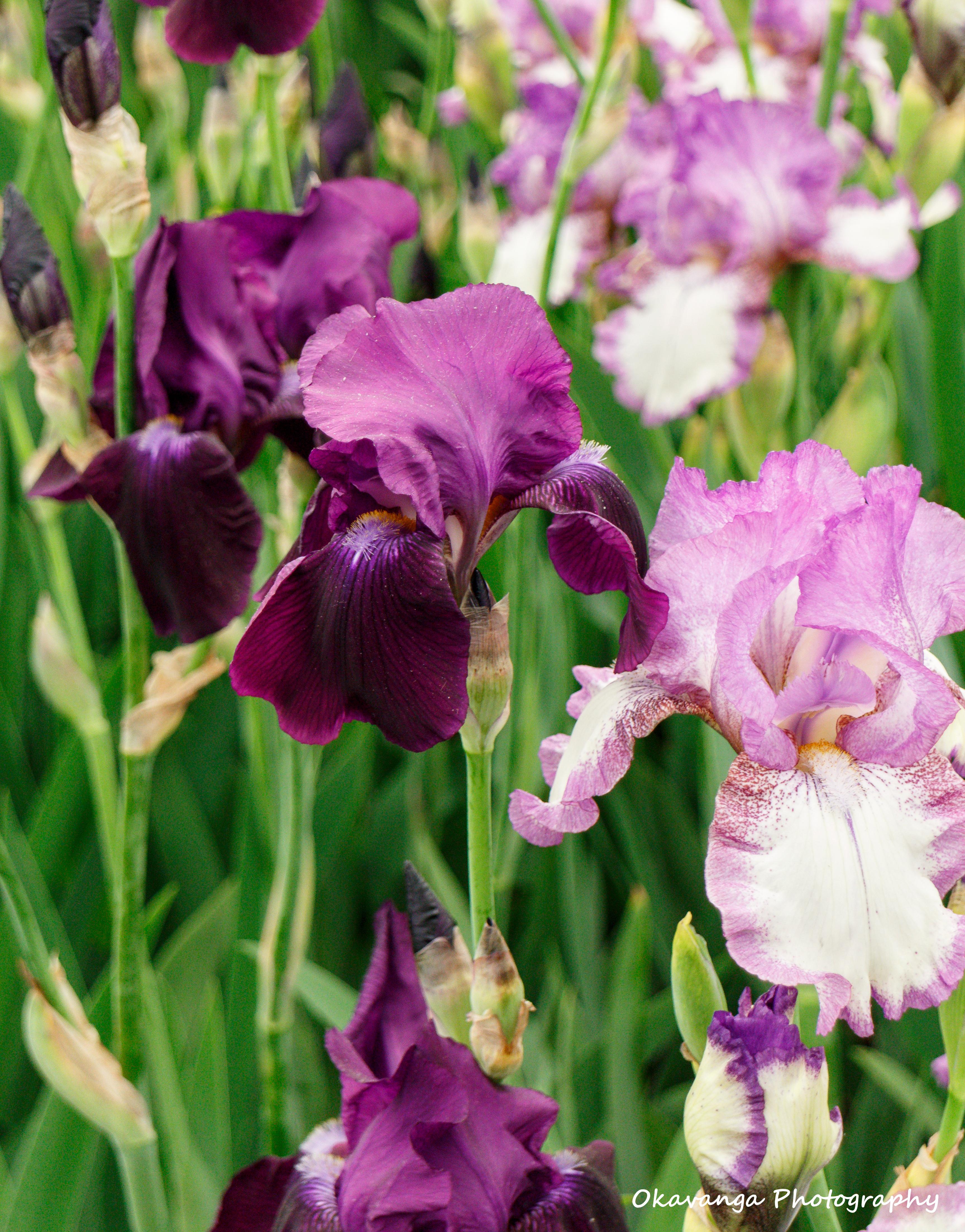 CFS Blooms 11 by Okavanga