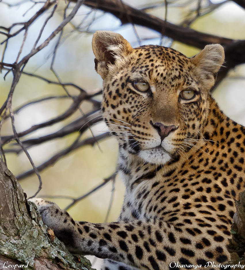 Animal Portraits - Leopard by Okavanga