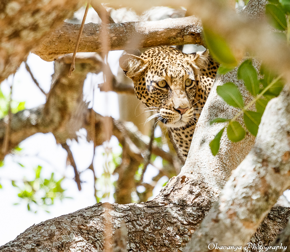 The Leopard and the Lions by Okavanga