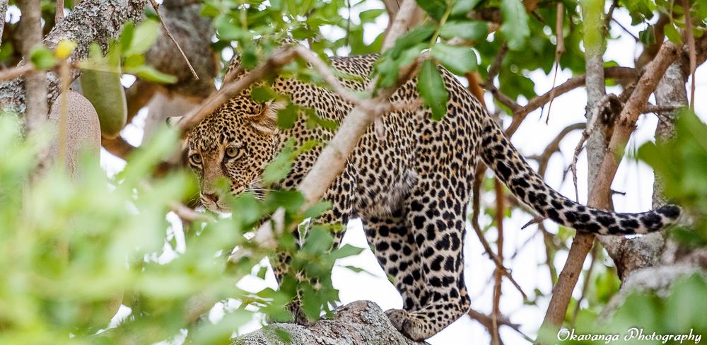 Leopard in Tree 3 by Okavanga
