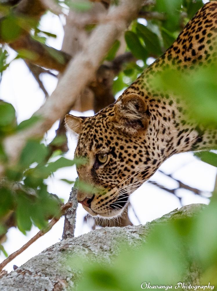 Leopard in Tree 2 by Okavanga