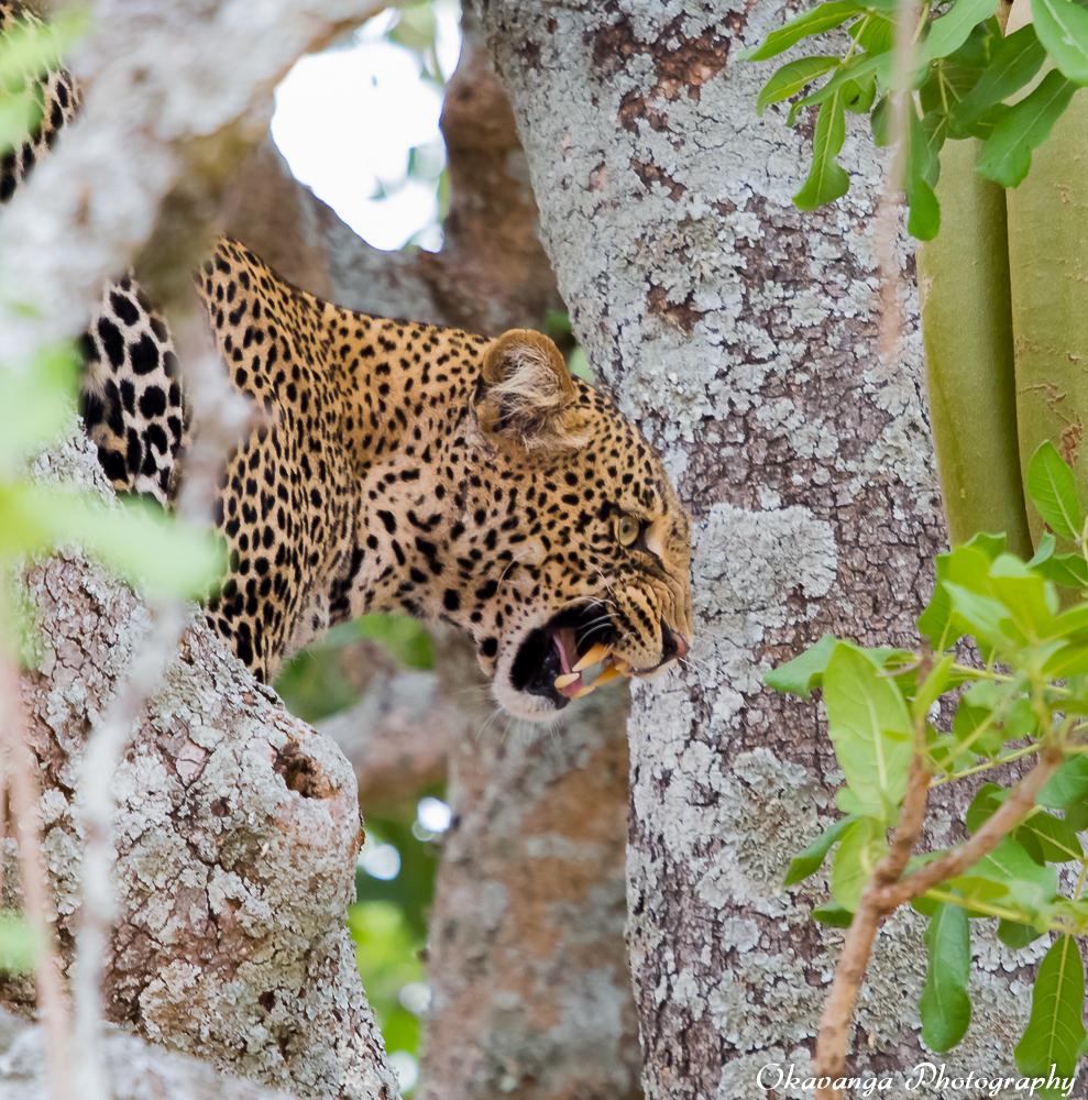 Leopard in Tree 1 by Okavanga