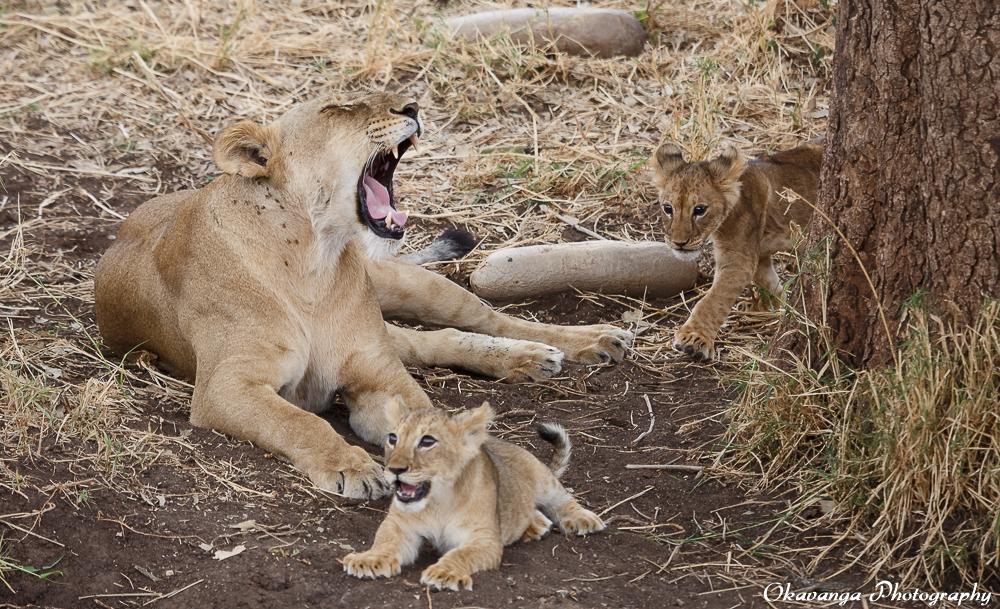 Lion Family 8 by Okavanga