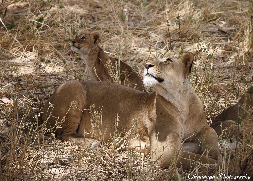 Lion Family 7 by Okavanga