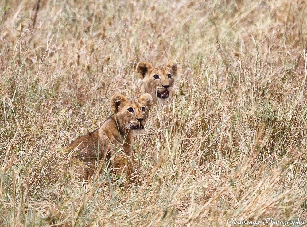 Lion Family 6 by Okavanga