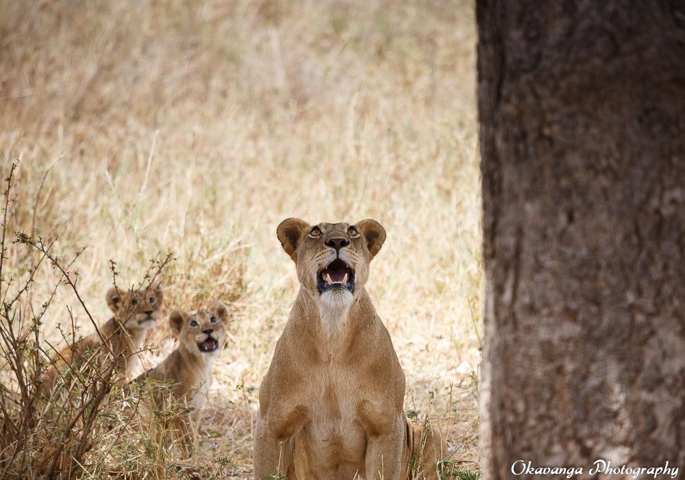 Lion Family 5 by Okavanga