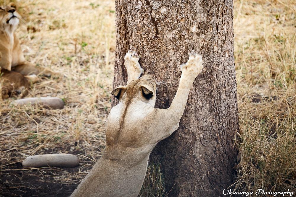 Lion Family 4 by Okavanga