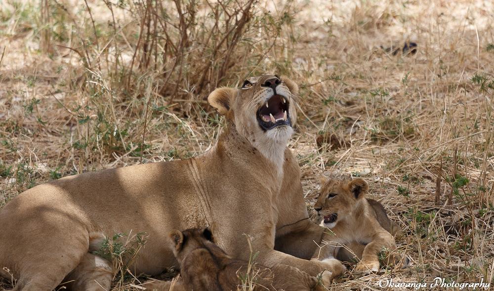 Lion Family 3 by Okavanga