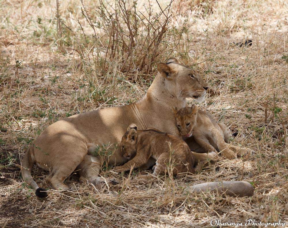 Lion Family 2 by Okavanga