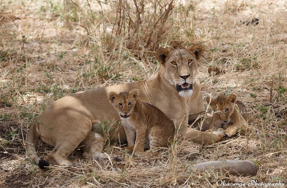Lion Family 1 by Okavanga