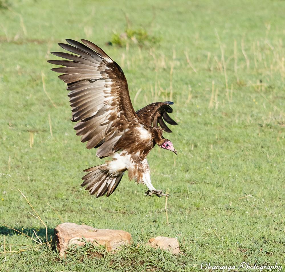 Vultures - 7 by Okavanga