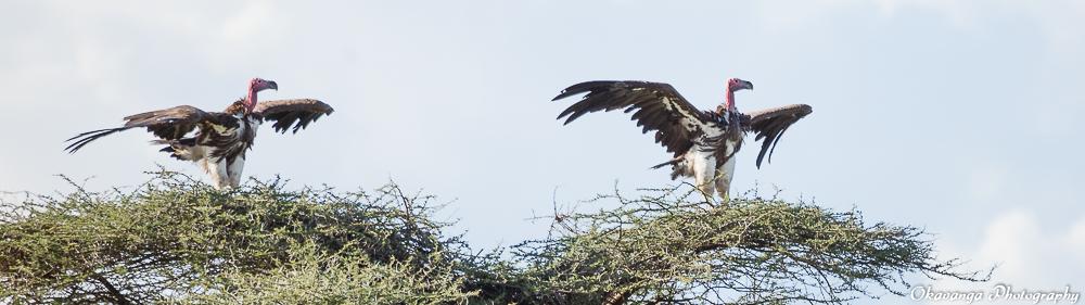 Vultures - 5 by Okavanga