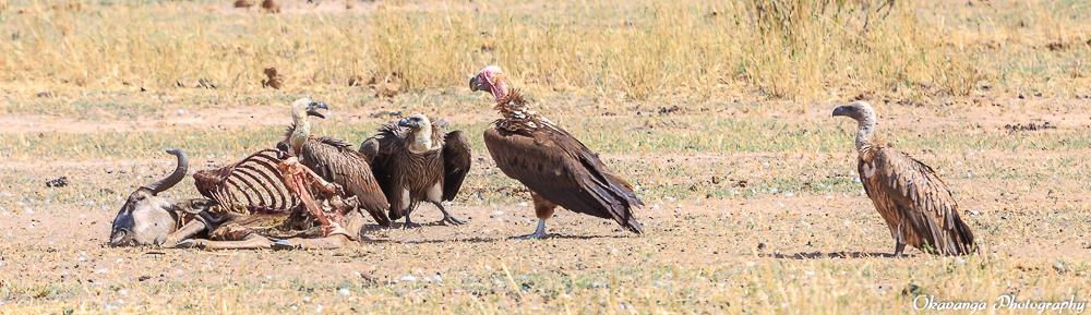 Vultures - 2 by Okavanga