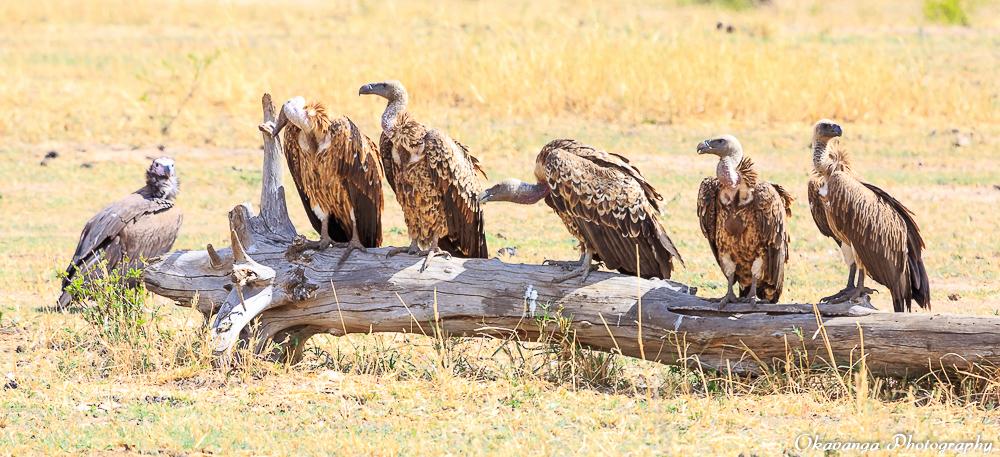 Vultures - 1 by Okavanga
