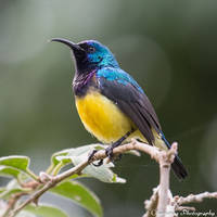 Variable (Yellow-Breasted) Sunbird by Okavanga
