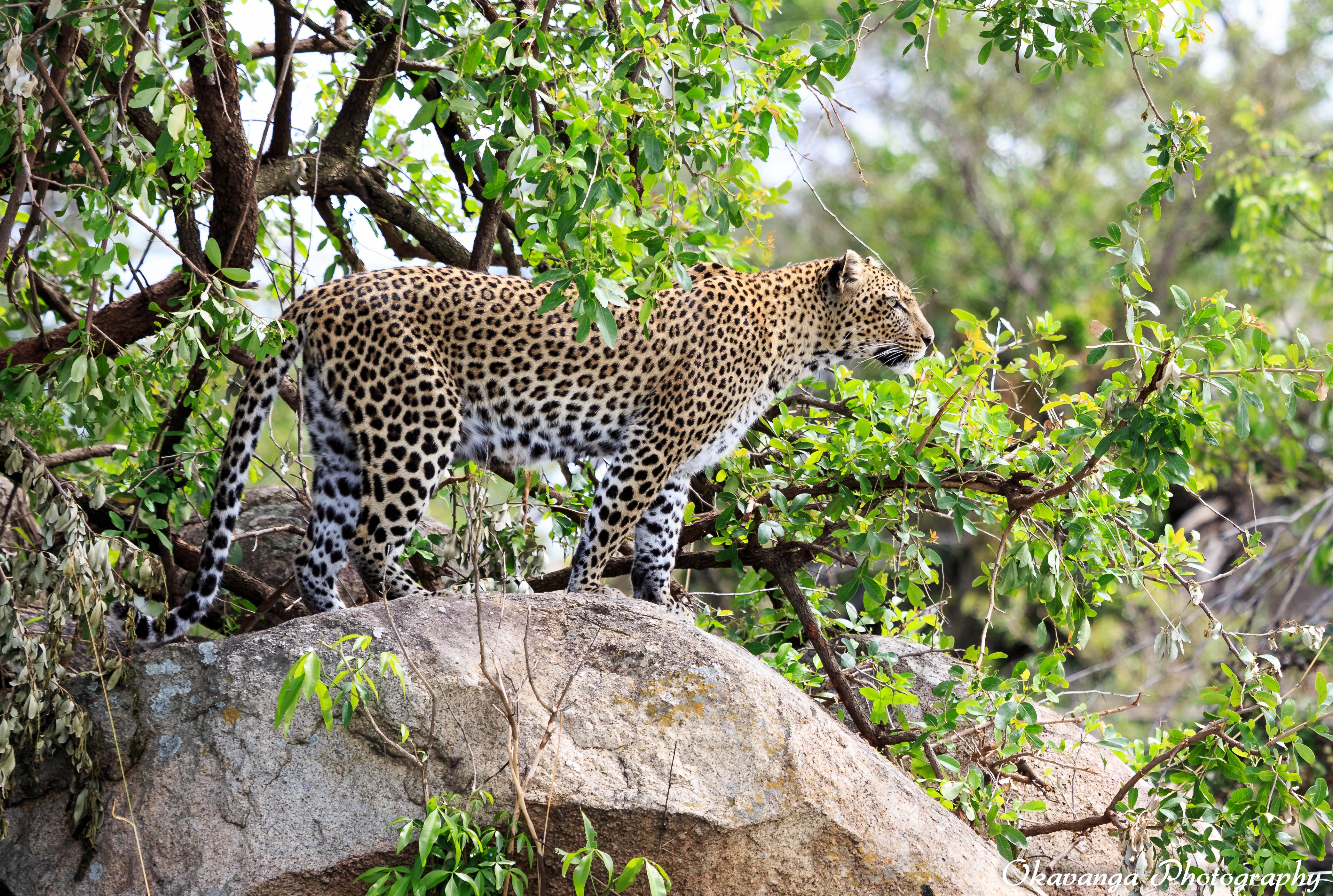 Kopie Leopard on Alert by Okavanga