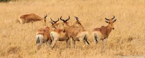 Hartebeest by Okavanga