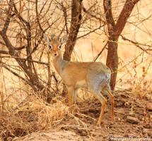 Male Dik-Dik by Okavanga