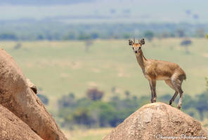 Klipspringer by Okavanga