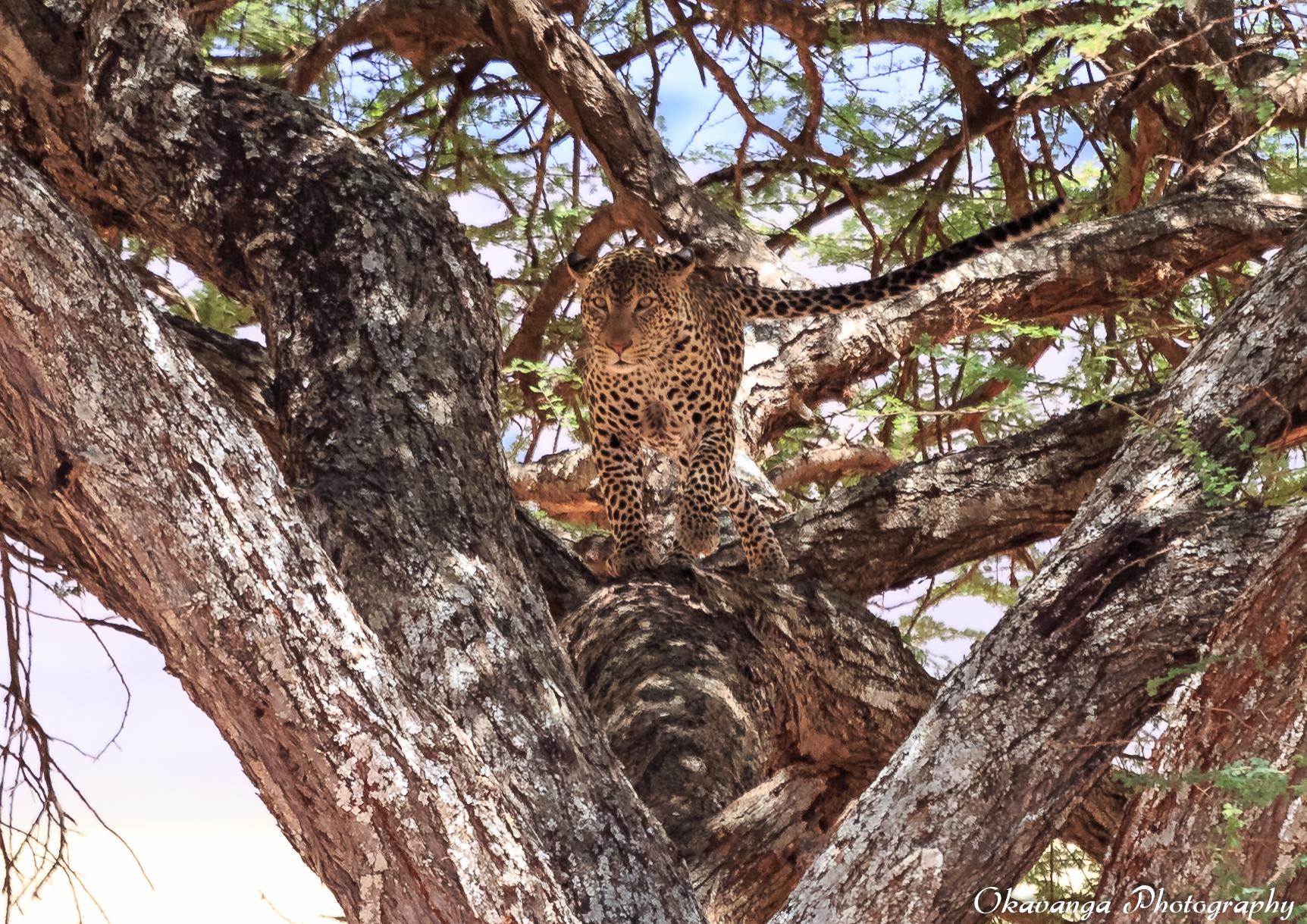 Leopard in Umbrella Tree by Okavanga