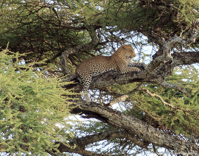 Leopard Waking by Okavanga
