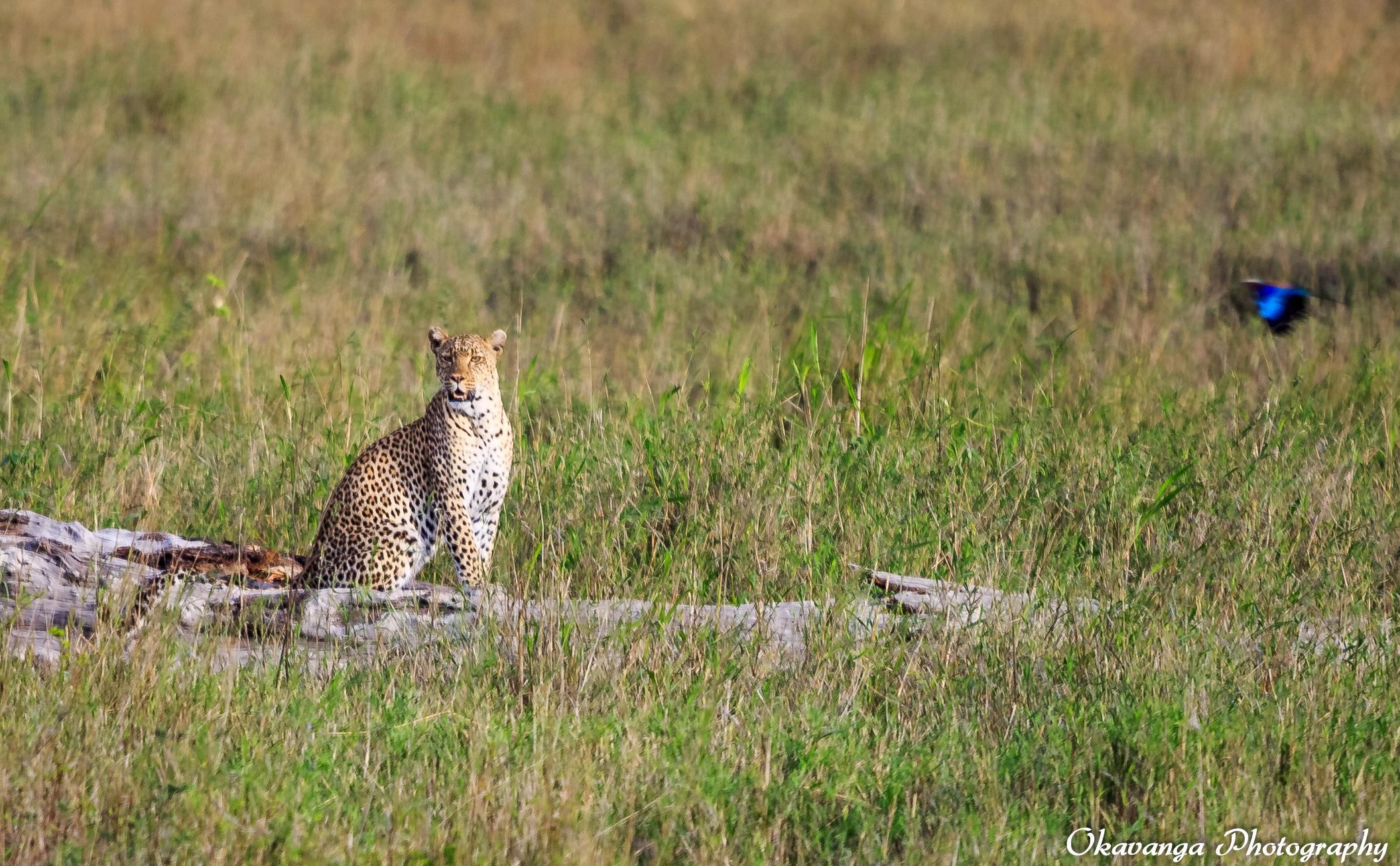 Female Leopard on Guard by Okavanga