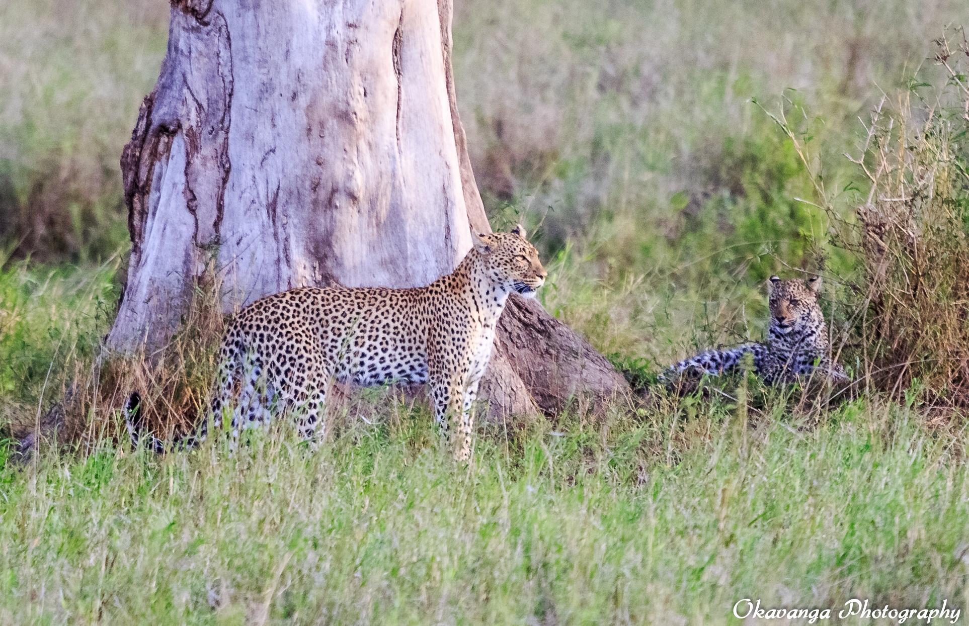 Female Leopard with Cub by Okavanga