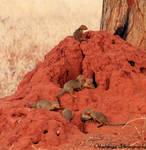 Dwarf Mongoose Colony