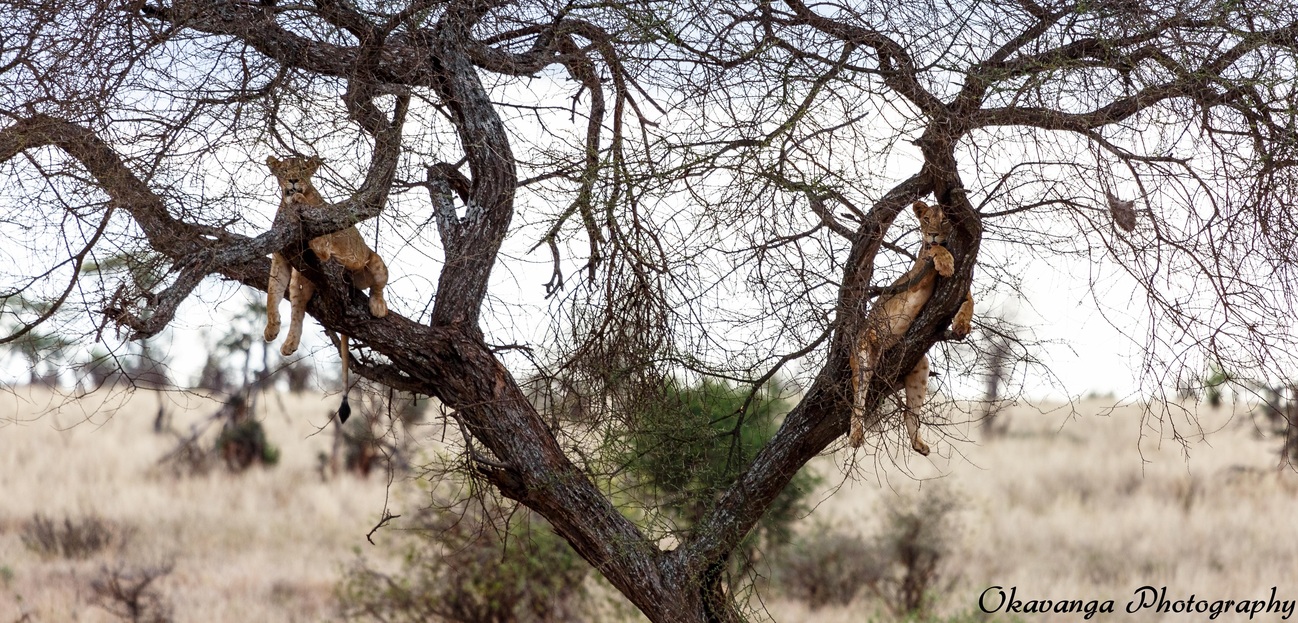 Tree Lions by Okavanga